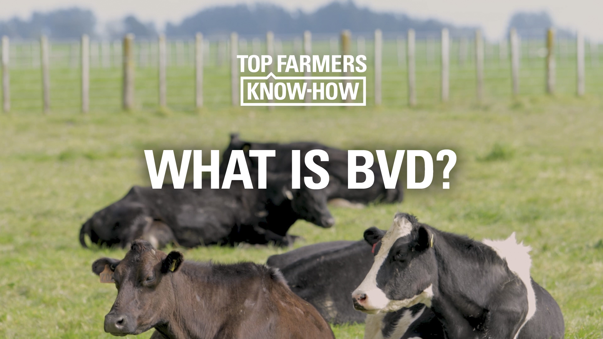 What is BVD